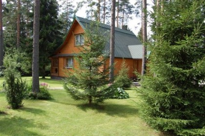 Сосна из леса на даче
