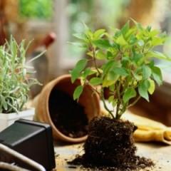 основные правила пересадки комнатных растений